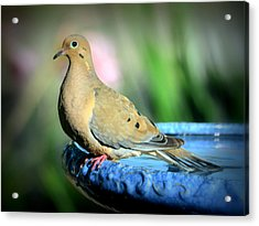 Mourning Dove Perched Acrylic Print by Josephine Buschman