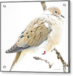 Mourning Dove, Snowy Morning Acrylic Print