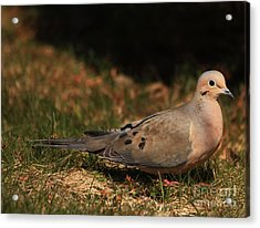 Mourning Dove Spring 2012 Acrylic Print by Marjorie Imbeau