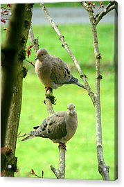 Mourning Doves Acrylic Print