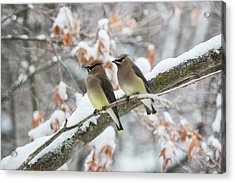 Mr. And Mrs. Cedar Wax Wing Acrylic Print