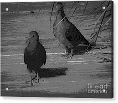 Mr And Mrs Dove Acrylic Print