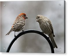 Mr. And Mrs. House Finch Acrylic Print