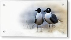Mr And Mrs Laughing Gull Acrylic Print