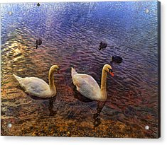 Mr And Mrs Swan Go Viisiting Acrylic Print