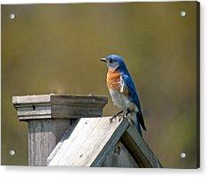 Mr Blue Bird Acrylic Print by Robert Pearson