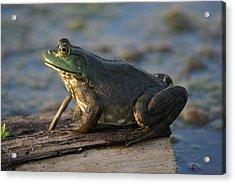 Mr. Bullfrog Acrylic Print