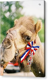 Mr. Camel Acrylic Print by Cheryl Martin
