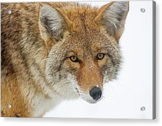 Mr. Coyote Acrylic Print