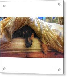 Mr Darcy #dogs #gsd #germanshepherd Acrylic Print