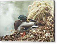 Mr Duck Acrylic Print