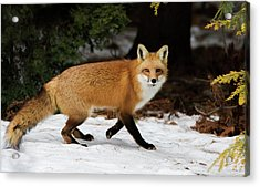 Acrylic Print featuring the photograph Mr Fox by Mircea Costina Photography