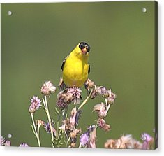 Mr Gold Finch Acrylic Print by Robert Pearson
