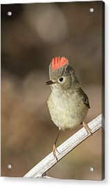 Acrylic Print featuring the photograph Mr Kinglet  by Mircea Costina Photography