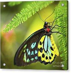 Mr. Richmond Birdwing Acrylic Print