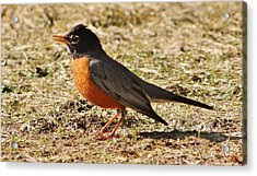 Acrylic Print featuring the photograph Mr. Spring Robin by Al Fritz