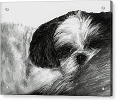 Acrylic Print featuring the drawing Mr Tibbs by Meagan  Visser