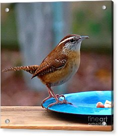 Mr Wren Acrylic Print by Sue Melvin