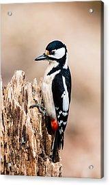 Mrs Woodpecker Acrylic Print