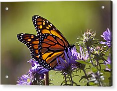 Ms. Monarch Acrylic Print by Ross Powell