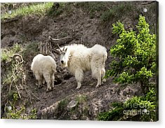 Mt Goat Outing Acrylic Print