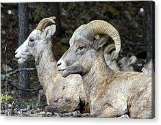 Mt Sheep  Acrylic Print