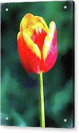 Mt Vernon Tulip Acrylic Print