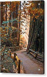 Muir Woods In Fall Acrylic Print
