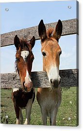 Mule And His Painted Friend Acrylic Print