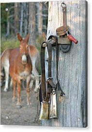 Mule Bells Acrylic Print