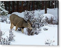 Mule Deer - 9130 Acrylic Print
