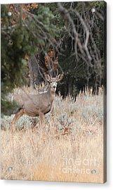 Mule Deer Buck Acrylic Print by Dennis Hammer