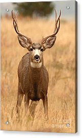 Mule Deer Buck Showing His Thoughts Acrylic Print by Max Allen