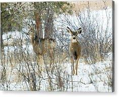 Mule Deer Does In Snow Acrylic Print