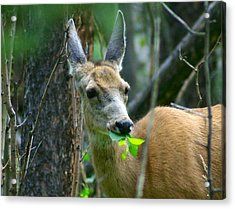 Mule Deer Eating Aspen Leaves Acrylic Print