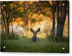 Mule Deer In Apple Orchard Acrylic Print