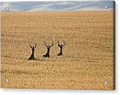 Mule Deer In Wheat Field Acrylic Print by Mark Duffy