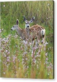 Mule Deer Twins Acrylic Print