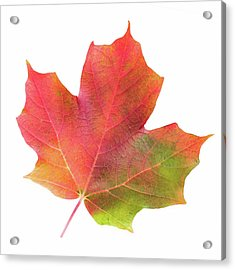 Acrylic Print featuring the photograph Multicolored Maple Leaf by Jim Hughes