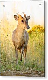 Muntjac Deer Acrylic Print