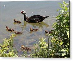 Muscovy Duck Family Acrylic Print by Carol Groenen