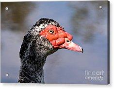 Muscovy Duck Acrylic Print by John Buxton