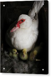 Muscovy Mother Acrylic Print by Laurie With