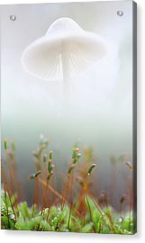 Acrylic Print featuring the photograph Mushroom Dreams, Mycena Galericulata by Dirk Ercken