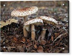 Acrylic Print featuring the photograph Mushroom Trio Macrolepiota Procera by Frank Wilson