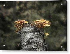 Mushrooms Atop Birch Acrylic Print