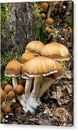 Acrylic Print featuring the photograph Mushrooms - D009959 by Daniel Dempster