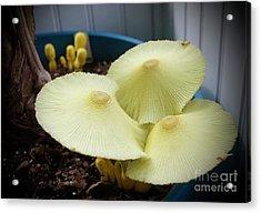 Mushrooms Acrylic Print