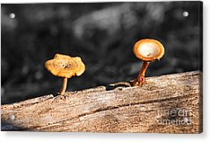 Mushrooms On A Branch Acrylic Print by Donna Greene