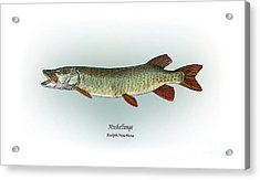 Muskellunge Acrylic Print by Ralph Martens